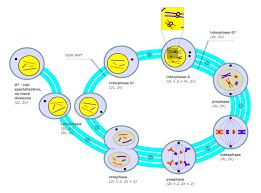 The Cell Cycle Biology For Majors I