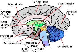 similiar brain schematic diagram keywords 3d human brain brain