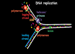 A Pathway To Bypass Dna Lesions In The Replication Process Is