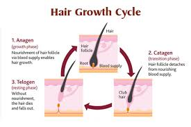 the life cycle of your hair hair