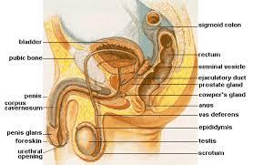 Prostate <b>massage</b> - Wikipedia