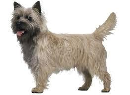 cairn terrier.  Terrier Cairn Terrier And E