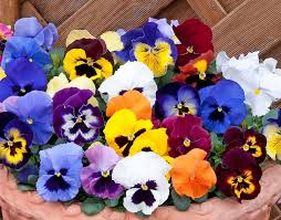 multicoloured pansies in a pot