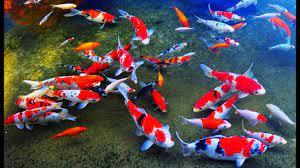 10 Jenis Dan Harga Ikan Koi Terbaru Maret 2021