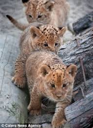 cute baby liger. Simple Liger The Three Baby Ligers With Cute Baby Liger E