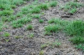 caption leatherjackets cause dead patches in lawns