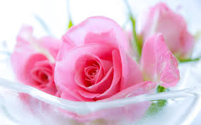 rose pink wallpaper images