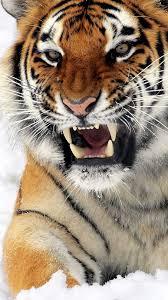 tiger iphone wallpaper. Unique Iphone 1080x1920  To Tiger Iphone Wallpaper R