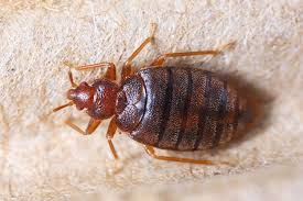 Size Of Bed Bugs Chart How To Get Rid Of Bed Bugs Forever 15 Natural Ways