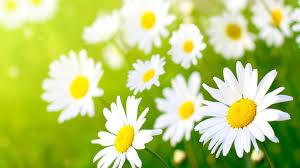 white daisy flower hd wallpaper