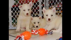 siberian husky puppies in fresno california ca 19breeders santa ana san bernardino