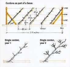 How To Grow Espalier Apple Trees  Vegetable GardenerGrowing Cordon Fruit Trees