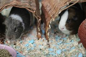 guinea pig resources
