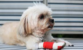 is your dog limping a ed or torn nail could be the culprit