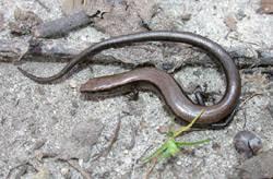 South Carolina Lizards Charleston