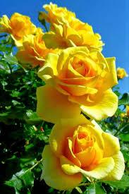 yellow rose hd 311 zoq pictures bdfjade