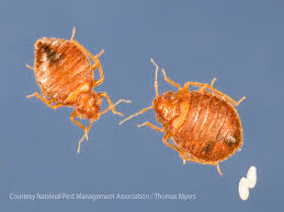 photo of a male and female bed bugs with eggs