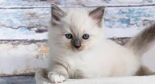 Ragdoll Cat Colors Recognizing And Predicting Ragdoll Coats