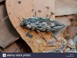 Pine Borer Pine Borer Stock Photos Pine Borer Stock Images Alamy