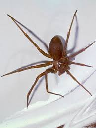 Common Spider Bite Symptoms Household Wolf Spider