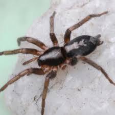 Michigan Spiders Identification Chart Spiders In Michigan Species Pictures