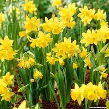 yellow miniature daffodil bulbs tete a tete narcissus