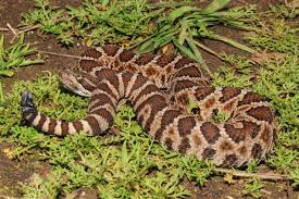 10 Most Venomous Snakes In North America