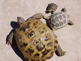 How Old Russian Tortoise Guide Chart