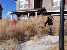 Small Picture Tumbleweeds Have Taken Over Colorado Blocking Roads And Homes
