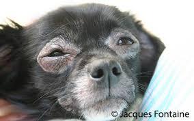 La dermatite atopique du chien