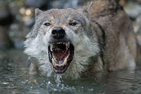 Wolf Hd Wallpapers 1080p - Wallpaper ...