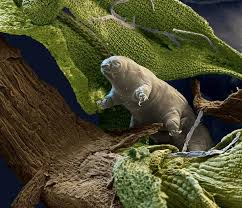 tardigrade actual size the tardigrade practically invisible indestructible water bears