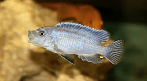 15 Awesome Types Of Cichlids For Your Tank Cichlid Species