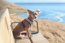 Best Harnesses For Chihuahuas