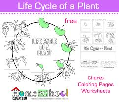 Green Bean Growth Chart Seed To Plant Coloring Worksheet The Crafty Classroom