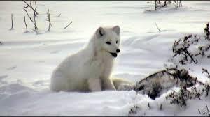 arctic fox eating frozen bird carc