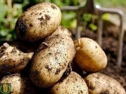 Уборка картофеля способы средства агротехнические требования  Способы и организация уборки картофеля