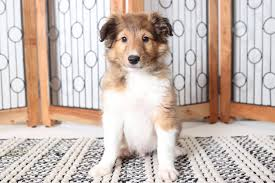 rowan playful male akc sheltie puppy