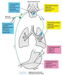 ЛЕКАРСТВЕННЫЕ СРЕДСТВА РЕГУЛИРУЮЩИЕ ФУНКЦИИ ИСПОЛНИТЕЛЬНЫХ  Применяют стимуляторы дыхания при легких отравлениях опиоидными анальгетиками окисью углерода при асфиксии новорожденных для восстановления