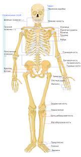 Скелет человека Википедия