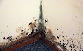 Image result for Black Mold