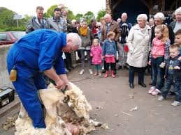Afbeeldingsresultaat voor schapen scheren