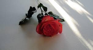 beautiful romantic red rose public
