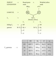 Heredity Definition Mendels Experiments Concepts
