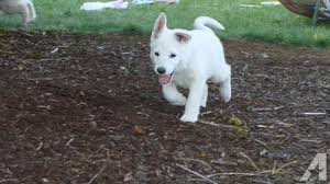 white german shepherd puppies for sale. Pets And Animals For Sale In Silverton Oregon Puppy Kitten Classifieds Buy Sell Kittens Puppies Americanlistedcom With White German Shepherd
