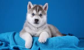puppy husky husky
