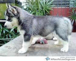 pomeranian husky miniature. Simple Husky A Pomeranian Husky Mix Theyre Like Mini Huskies And Are About The Size Of  A Puppy All Their Life Adorableu003cu003cu003c For Pomeranian Husky Miniature U