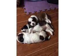 cutie shih tzu puppies for