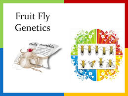 fruit fly genetics ppt video online  1 fruit fly genetics