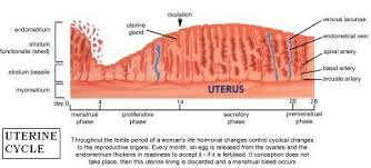 Uterus And The Menstrual Cycle The Uterine Cycle